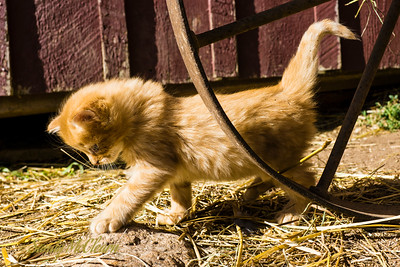 4-week old kitten. Ross Farm Museum, Nova Scotia.