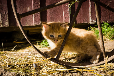 4-week old kitten playing with a wheel. Ross Farm Museum, Nova Scotia.