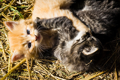 Two 4-week old kittens play at Ross Farm Museum, Nova Scotia.