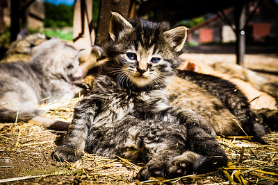 Kitten lies on the ground in front of a nursing mother cat. Ross Farm Museum, Nova Scotia.