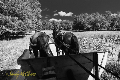 Two horses pull a wagon through a farm field. Ross Farm Museum, Nova Scotia.