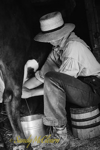 Cow milking at Ross Farm Museum, Nova Scotia.