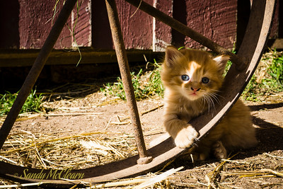 4-week old kitten playing with wheelbarrow wheel. Ross Farm Museum, Nova Scotia.