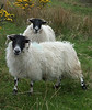 Sheep need heavy coats on Skye, it's cold up there!