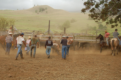 Roundup at the Ulupalakua Ranch