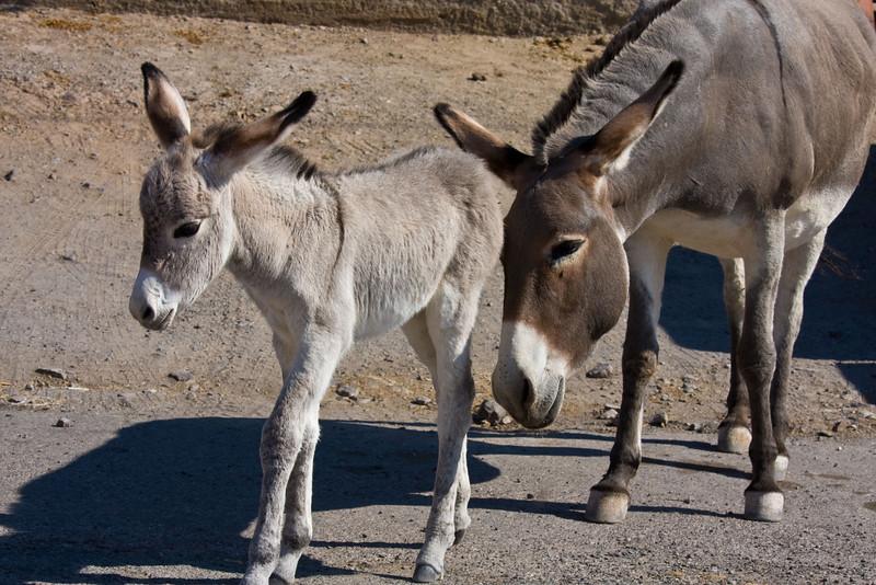Oatman, Arizona's latest claim to fame and tourist dollars
