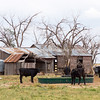 Cattle ranch, Texas Panhandle near Amarillo, Texas, United States