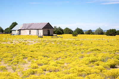 Fields of bright yellow rabbit brush, New Mexico, USA.-1