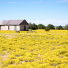 Fields of bright yellow rabbit brush, New Mexico, USA.-1
