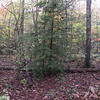 One of many healthy hemlock trees in the forest.