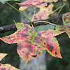 Spotted Gum Tree Leaves