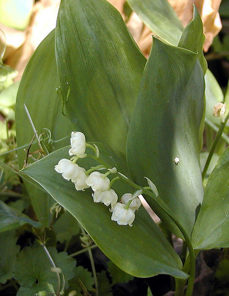 Wild Lily-of-the-Valley<br /> Savage Rock Garden<br /> Caryville, TN<br /> 4/28/07