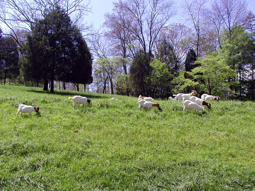 Goat Herd on Savage Garden Road<br /> Caryville, TN<br /> April 28, 2007