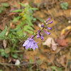 Some lingering lobelia along Short Mountain Trail <br /> Royal Blue WMA is an excellent place to see wildflowers especially in Spring.