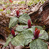 Red Sessile Trillium<br /> T. Sessile<br /> Liliaceae<br /> Royal Blue WMA TN 2008