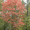 Fiery red tree at Hatfield Knob