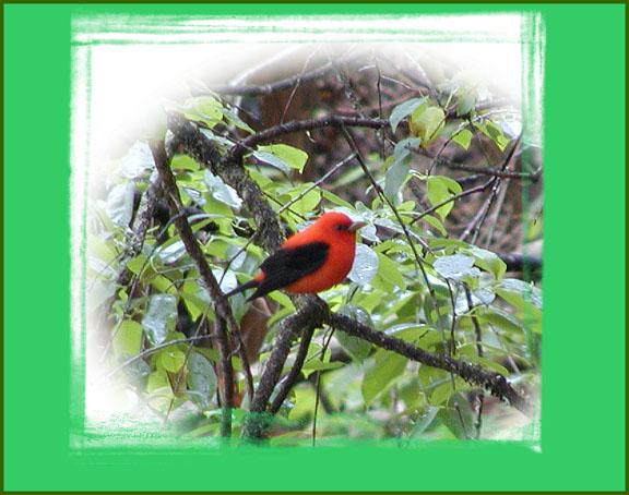 Scarlet Tanager along River Bluff Trail<br /> Norris Lake SP, TN<br /> April 28 2007