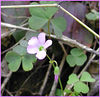 Violet Wood Sorrel<br /> Royal Blue WMA TN<br /> 4/28/07
