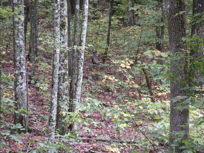 Can you see the turkeys in this shot?