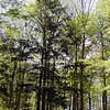Trail through Savage Rock Garden <br /> healthy hemlock trees (tsuga canadensis)<br /> Caryville TN<br /> 4/28/07