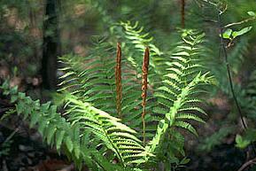 Cinnamon Fern<br /> Osmunda Cinnamomea