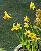 And lastly some real Welsh daffs. Appropriate, as we saw the Welsh rugby team trounce England to win the Six Nations Championship while we were over.