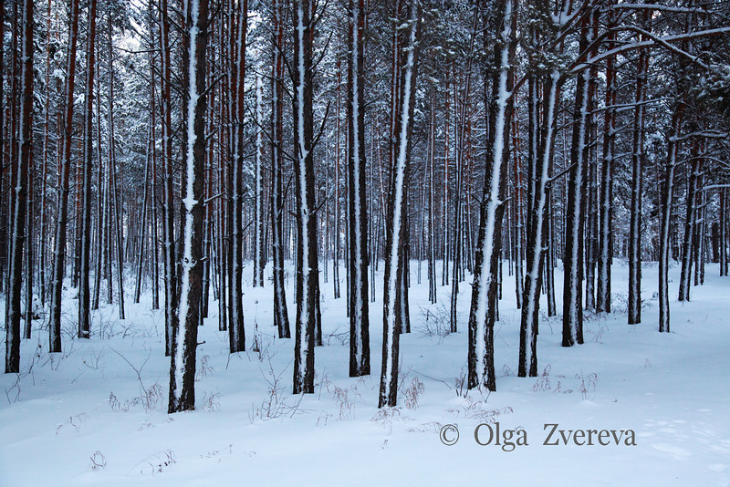 <p>Forest near Ob River, Siberia, Russia.The temperature is  -36 C. December 2010.</p>