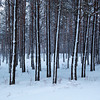 <p>Forest near Ob River, Siberia, Russia.The temperature is  -36 C. December 2010.</p>