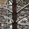 <p>Pine Tree. Siberia, Russia. December 2010.</p>