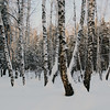 <p>Birches. Berdsk, Siberia, Russia.</p>