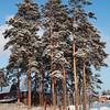 <p>Pine Trees. Siberia, Russia. December 2010.</p>