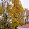 Larch trees in Fall.  Similar to our evergreens but pure golden color.