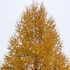 Larch tree in Fall