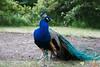 Peacocks by Łazienki Palace.<br /> IMG_5628