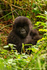Infant Mountain Gorilla