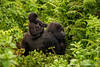 Female and Infant Mountain Gorilla