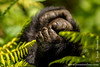 Mountain Gorilla Hand