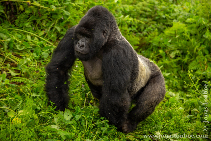 Male Silverback Mountain Gorilla
