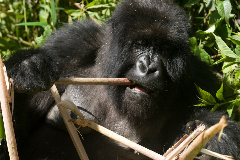 There are only about 700 mountain gorillas left in the wild