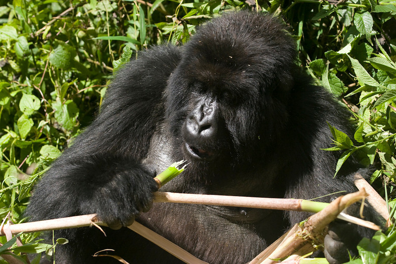 Mountain gorillas spend 30 percent of their time eating