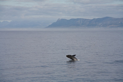 Southern Right Whale, de Kelders