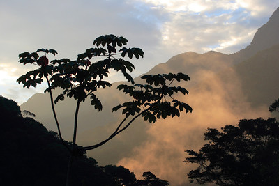 Saropia tree, Brazilian montane forest