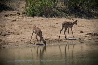 thirsty impalas