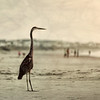 Heron, well over 3 ft. tall.  Joined us at the beach for the sunrise viewing.