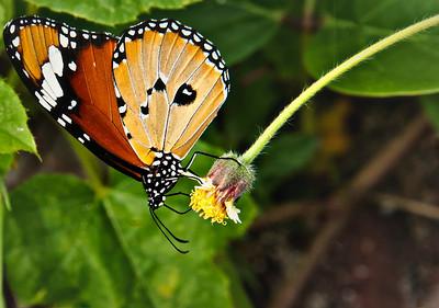 2012-01-18_Bali_Sanur_ButterflyOnYellowFlowerBud_DSC3069