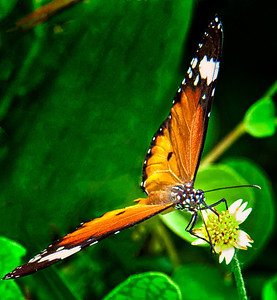 2012-01-18_Bali_Sanur_ButterflyOnYellowFlower_DSC3071