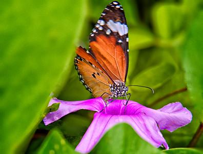 2012-01-18_Bali_Sanur_ButterflyOnPurpleFlower_DSC3085