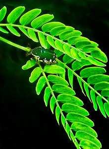2012-01-18_Bali_Sanur_BlackBugOnGreenLeaves2_DSC3053