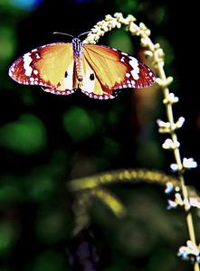 Luang_Prabang_Laos_Butterfly_9791