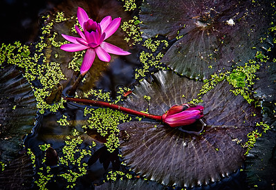 2013-12-28_Ayutthaya_Lotus_PurpleBlossoms-